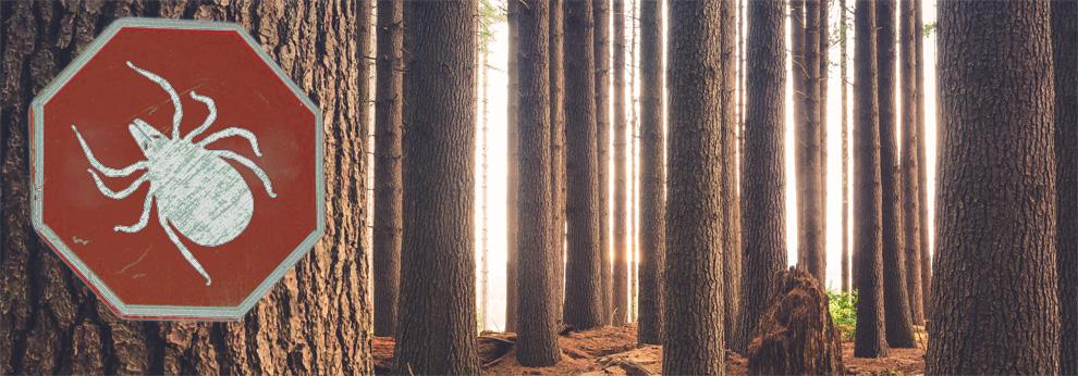 Les tiques, présents en grand nombre dans les forêts françaises, sont des vecteurs importants de maladies infectieuses.